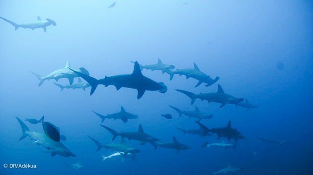 croisière plongée au Soudan à la rencontre des requins marteaux