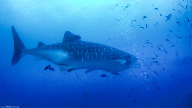 Des plongées inoubliables avec les requins baleines aux Galapagos