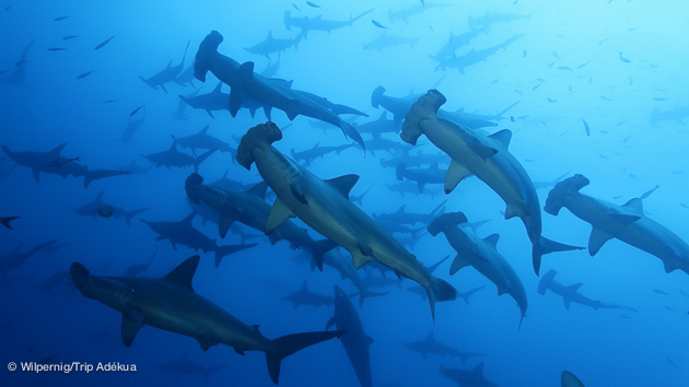 Incroyables requins marteau aux Galapagos