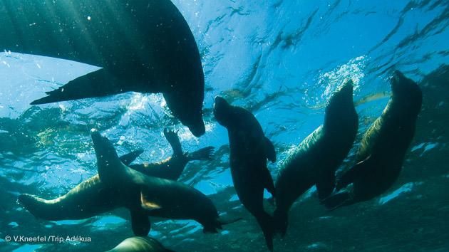 plonger avec les otaries en mer de Cortez au Mexique