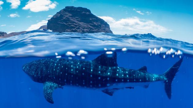 Plongez avec les requins baleines en Atlantique Sud