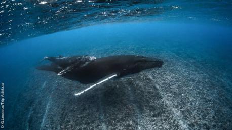 Séjour plongée exceptionnel avec les baleines en Polynésie