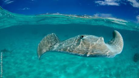 Raies manta, dauphins, requins marteaux... vous attendent en Polynésie pour des plongées merveilleuses